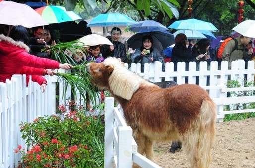 英国设特兰矮马与游客广州见面