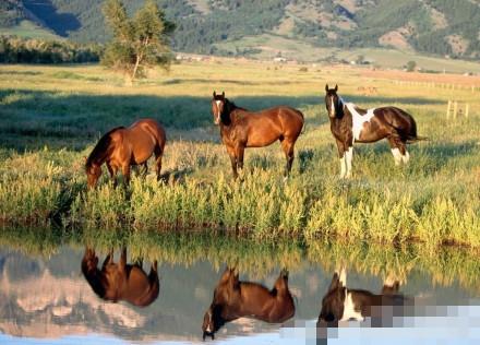 新疆野马繁殖中心 八匹野马回归自然