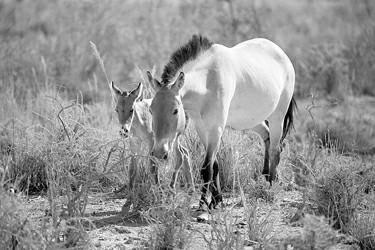 自然保护区普氏野马产小马